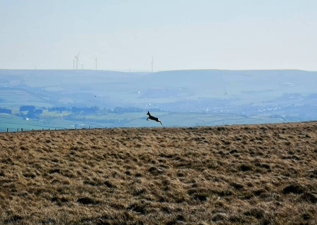 Image of a deer leaping across the moors for walking in Rossendale page on the Visit Rossendale website